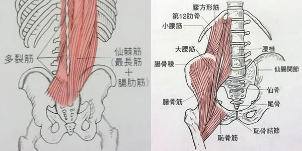 仙骨(仙腸関節)とインナーマッスル